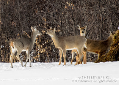 The young deer, at left, ran across the field to greet  the older right, centre, which stood still and watched,  then rubbed noses when the young one arrived.photo © Shelley Banks, all rights reserved
