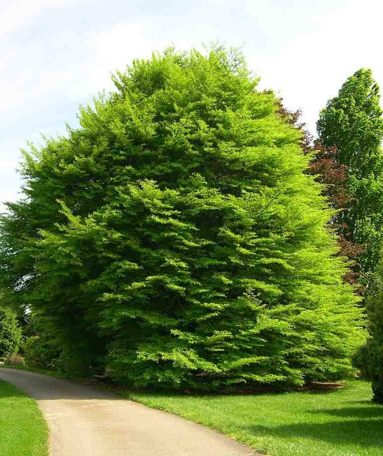 Trees Planet Fagus Sylvatica European Beech