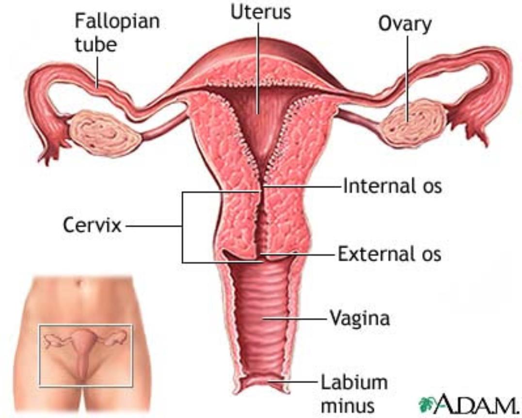 Размеры женских половых органов 18 фотография