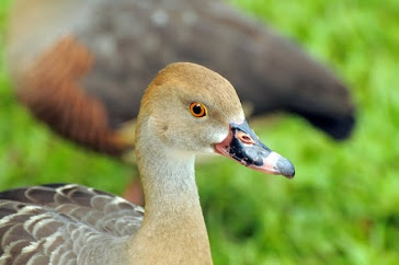Plumed Whistling Duck 689