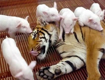 harimau dan babi