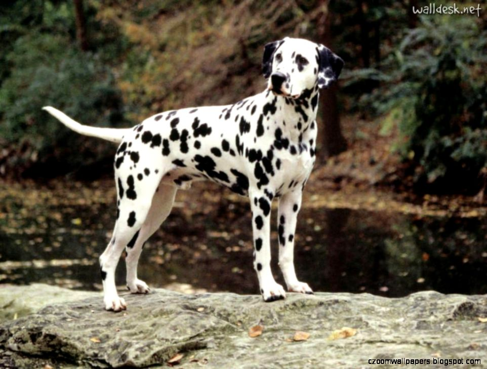 Awesome Dalmatian Dog Best Desktop Wallpapers Free Hd Images