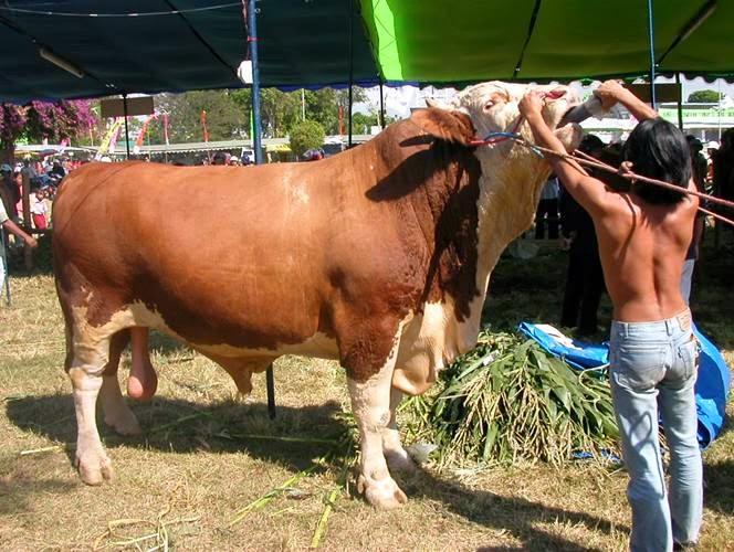ternak kambing jawa randu