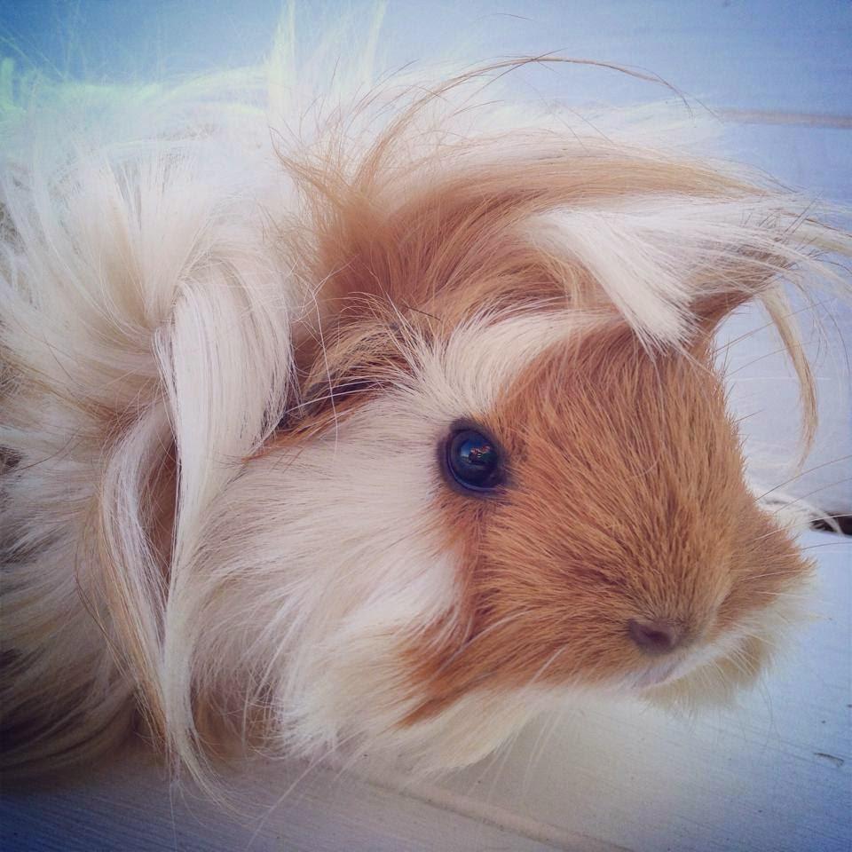 midget guinea pigs