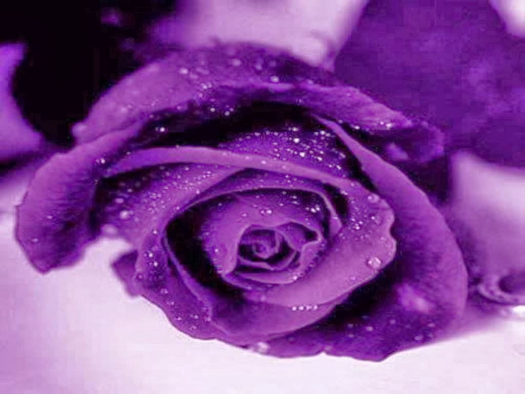 Light Purple Rose Wallpaper Purple Rose Wallpapers