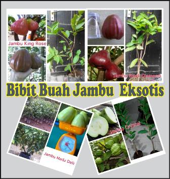 MENJUAL BIBIT JAMBU EKSOTIS