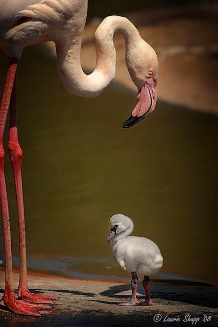 розовый фламинго со своим птенцом