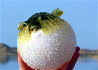Funny puffer fish funny animal for Cholesterol in fish