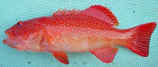 Plectropomus leopardus (kerapu sunu)