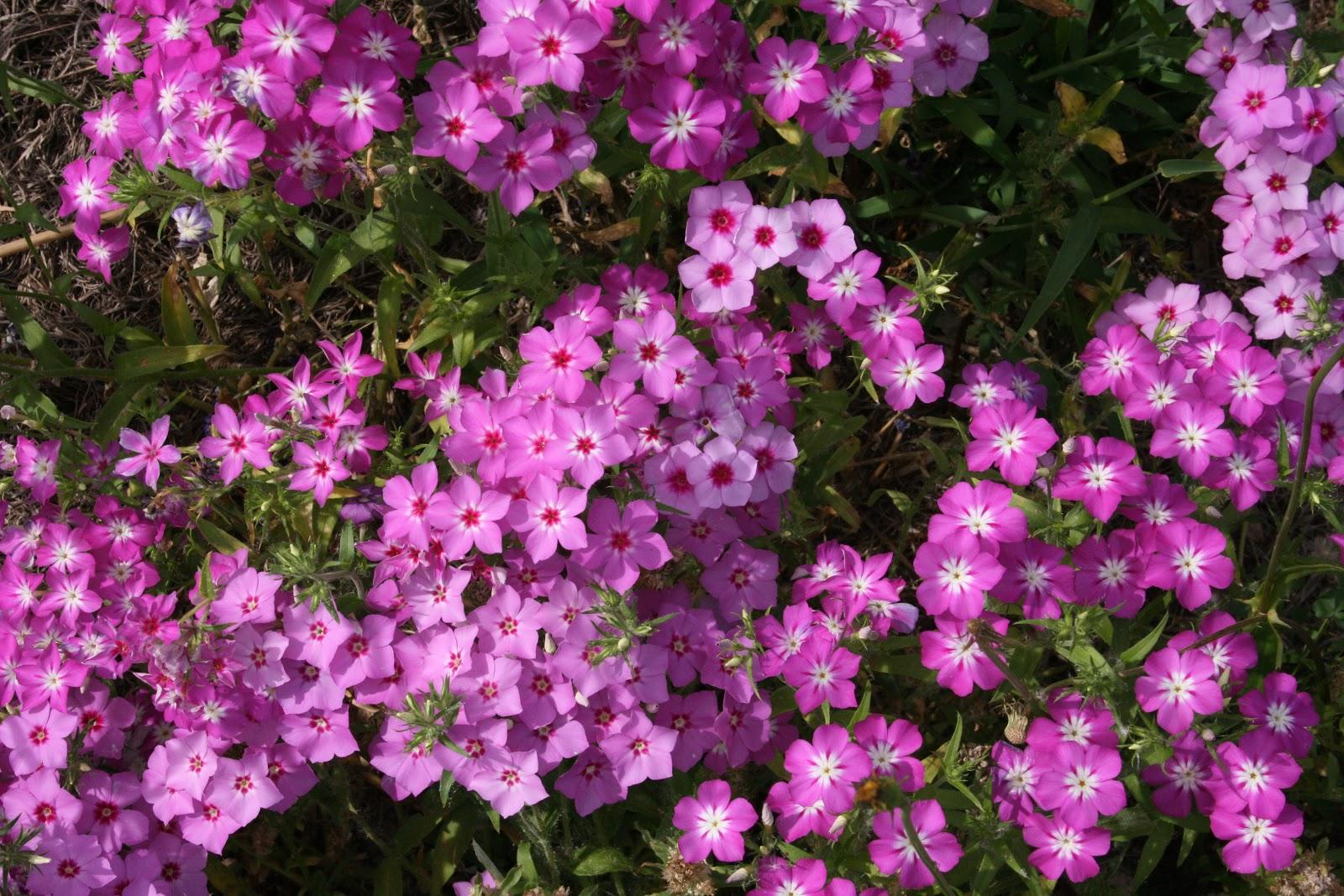 Native Florida Wildflowers Roadside Annual Phlox Phlox Drummondii