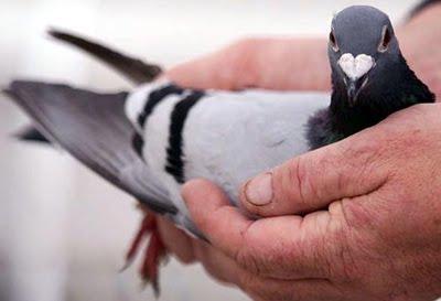 gambar binatang - foto burung merpati balap