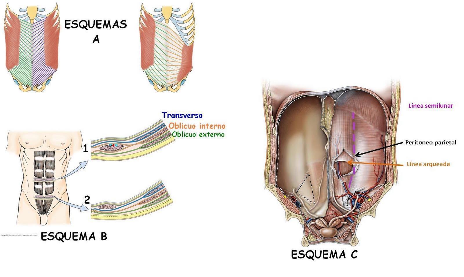 Anatomía UNAM: VAINA DE LOS RECTOS