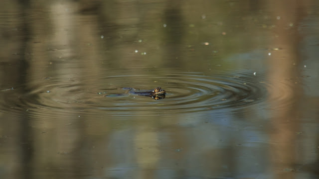 spreading ripples around a calling wood frog
