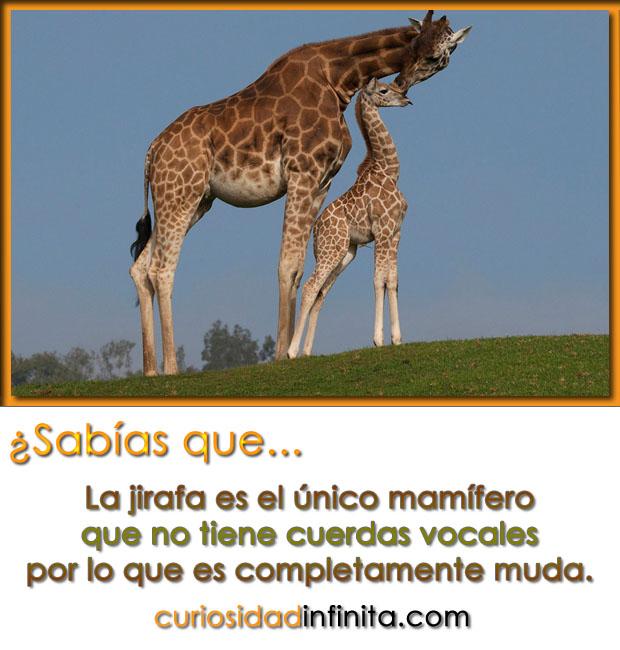La jirafa no tiene cuerdas vocales, es muda, el animal mas alto del mundo