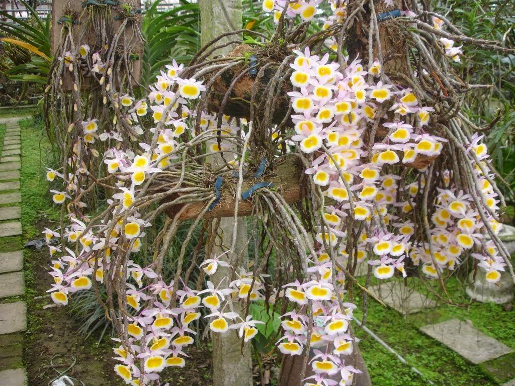 Long tu Lào là phong lan thân thòng, thân cây thường dài khoảng 30-50cm