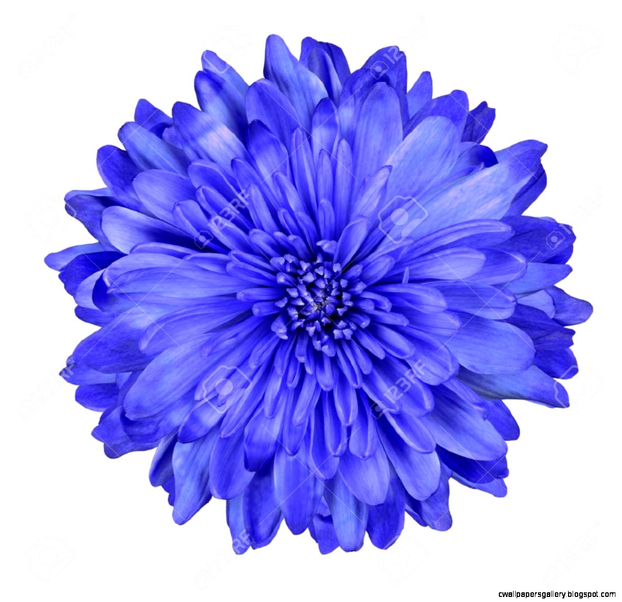 Single Deep Blue Chrysanthemum Flower Isolated Over White