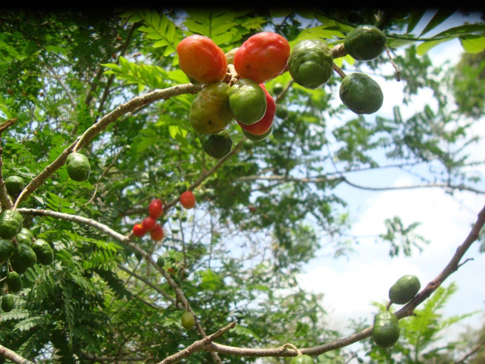 La siembra de arboles frutales para la fauna silvestre for Cuando se podan los arboles frutales