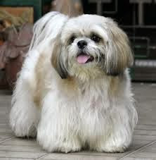 How Long Do Dogs Stay Pregnant Shih Tzu Dog Race Types