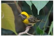 Baya Weaver Ploceus philippinus philippinus