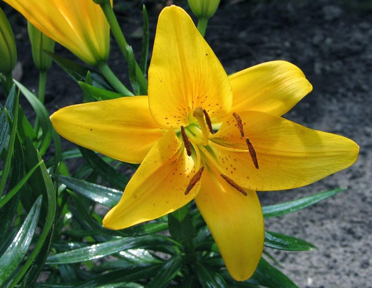 Riflessi il giglio selvatico giallo - Geranio giallo ...