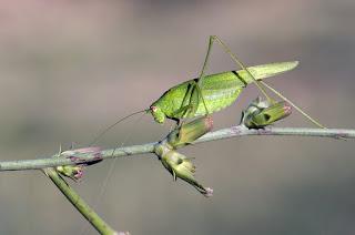 Para ampliar Phaneroptera nana (Saltamontes verde) hacer clic