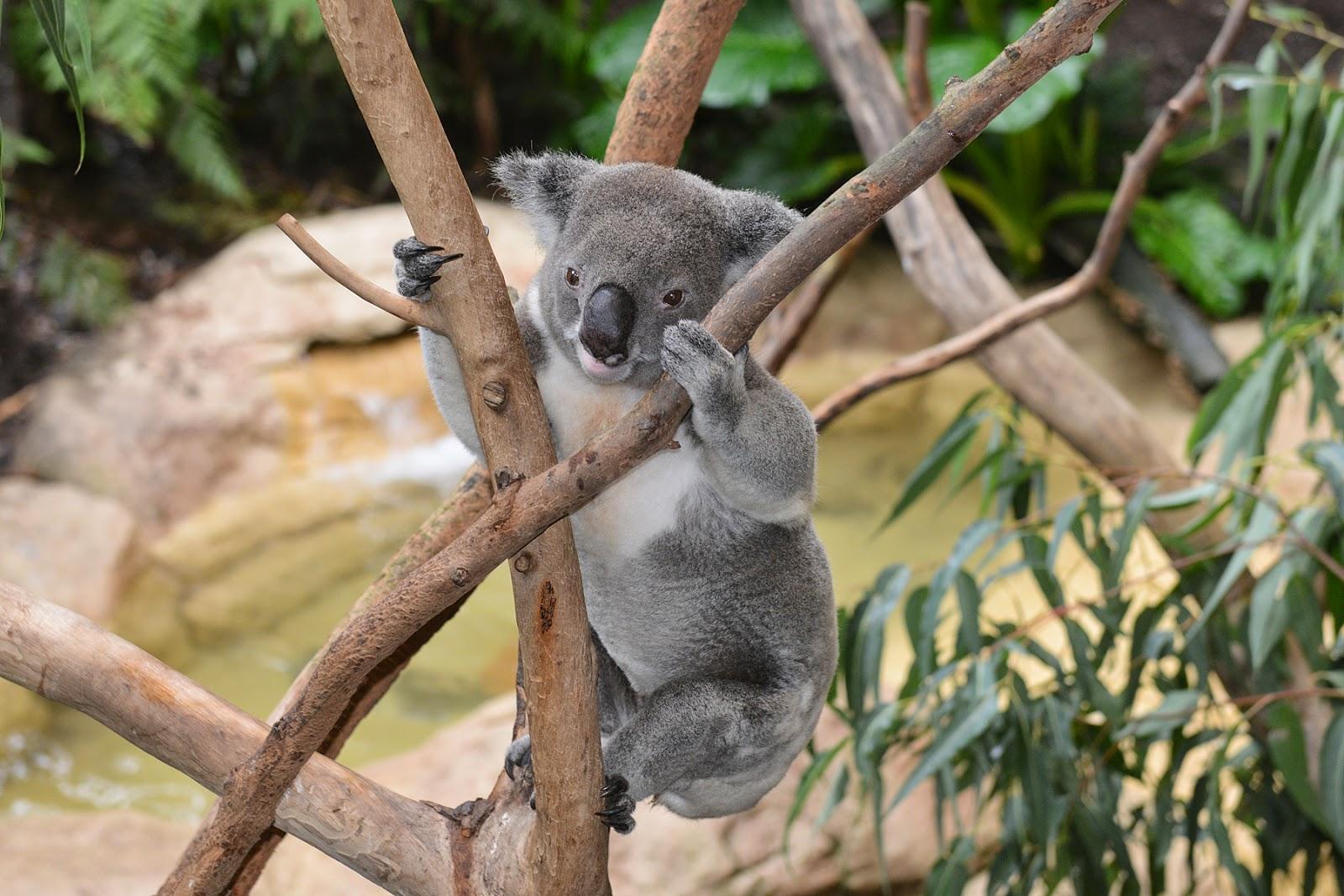 koala climbing eucalyptus