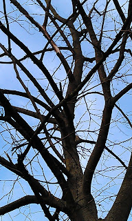 Dead Tilia - Lime With Dog Damage Max Roach Park