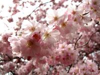 Fond d'écran avril 2011 - Printemps : cerisier du japon en fleurs