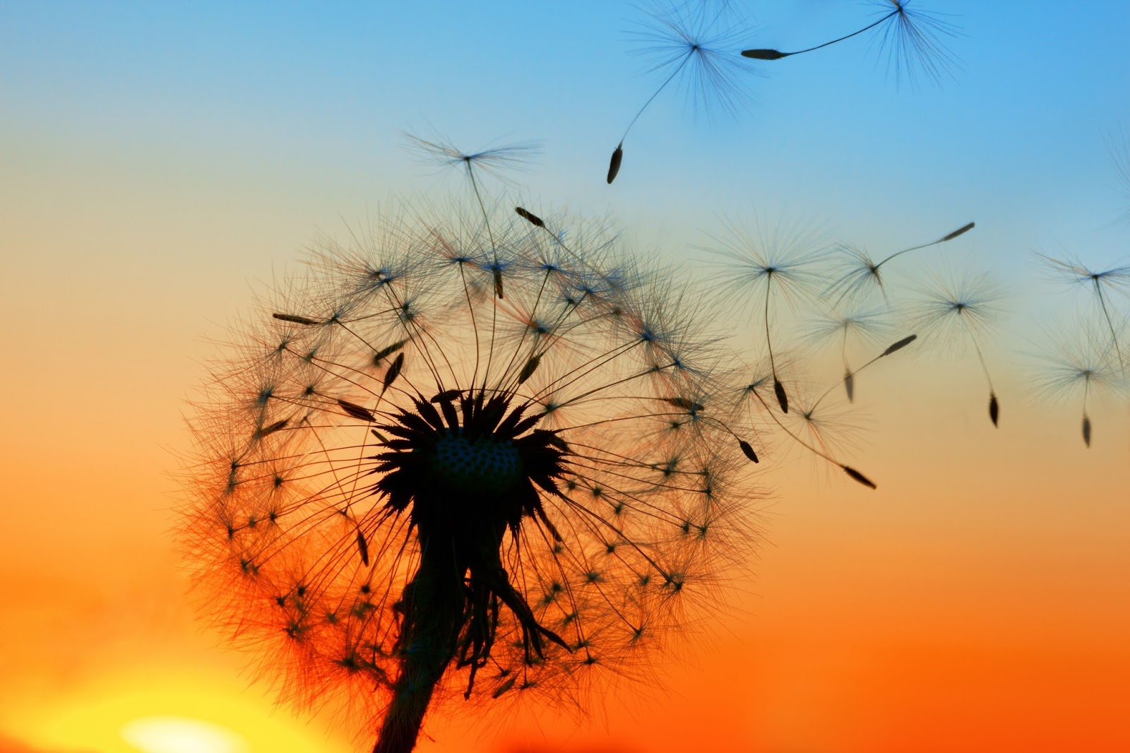 dandelion sunset related keywords - photo #21