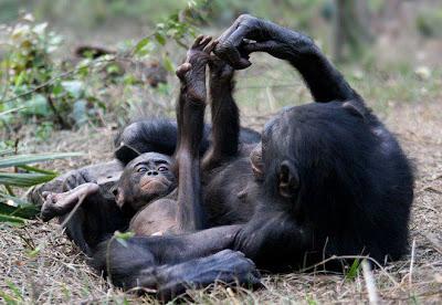 chimpancé padre y chimpancé chico