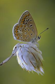 Para ampliar Polyommatus icarus (Ícaro) hacer clic