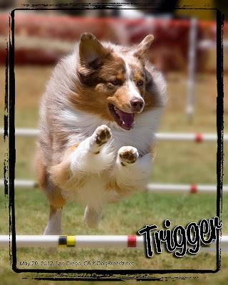 Trigger the Australian Shepherd happily takes a 20