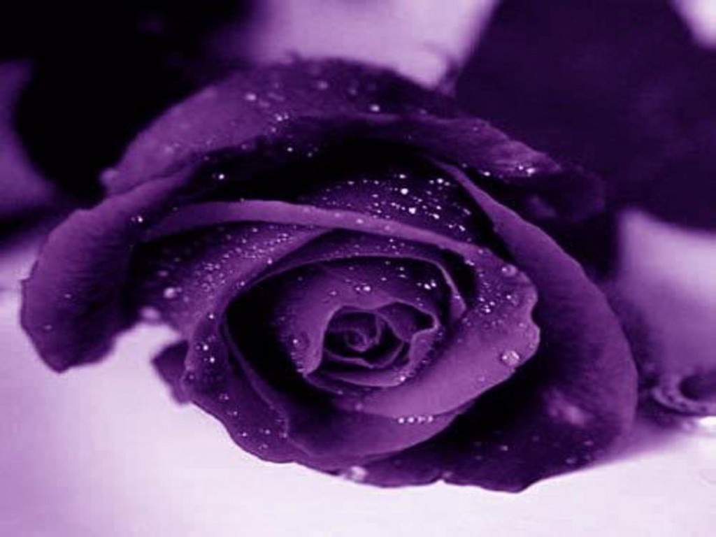 Purple Rose Flowers - Flower HD Wallpapers, Images ...