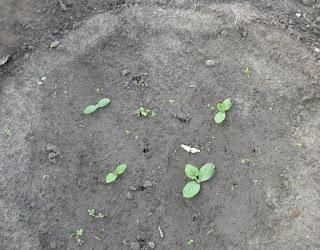 04.06. Кабачки после дождика все в грязи