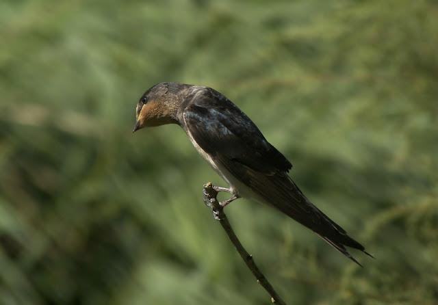 Golondrina común ( Hirundo rustica )