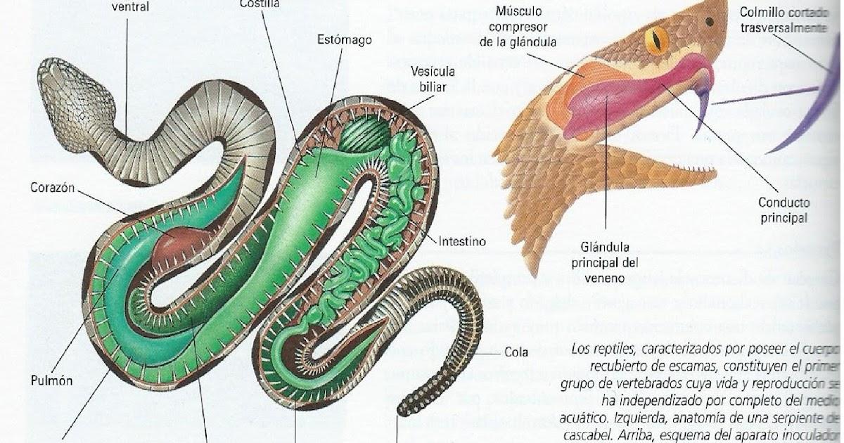 Atractivo Diagrama De La Anatomía Serpiente Galería - Anatomía de ...