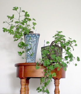 Pelargoniums / geraniums trained in cascade bonsai styles