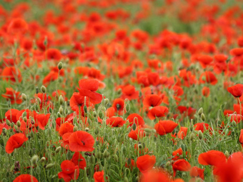 Wallpaper download of flowers - Http 3 Bp Blogspot Com Qkg7v6mdxzk Tsxkfwc5smi Rose Flowers Wallpaper Flowered Wallpaper
