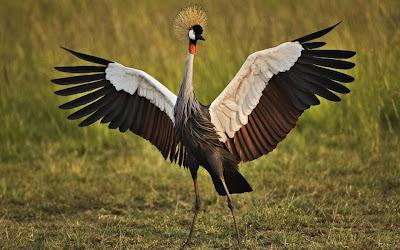 حاضنة الإبداع ، طائر التاج الذهبي