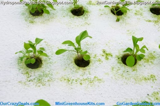 Hydroponic Greenhouse Seedlings Picture