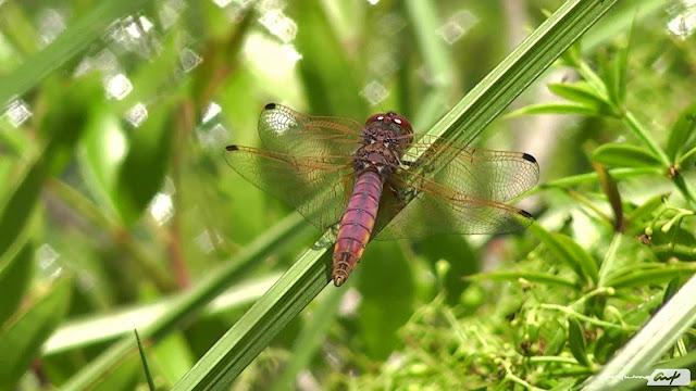 libelula-odonata-fotografia-planta