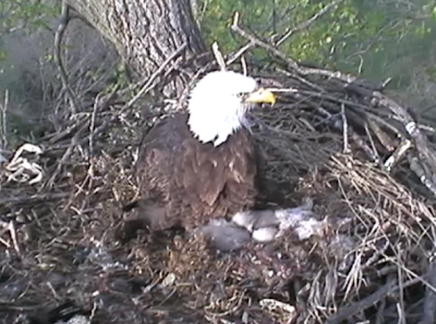 eaglets snuggled up and sleeping