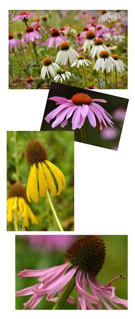 coneflower purple echinacea