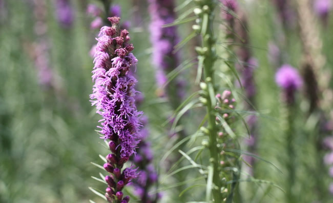 Blazing Star Flowers
