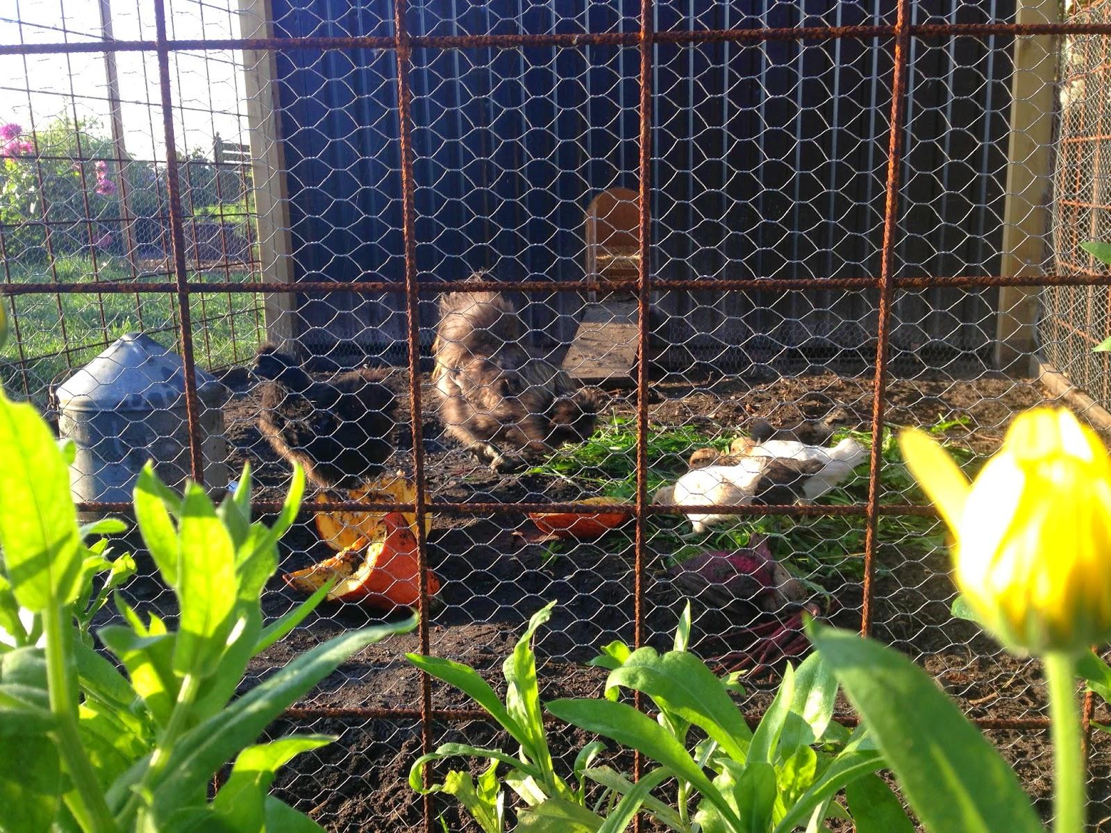 Fru pedersens have: høns og morgenfruer.
