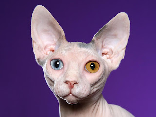 Sphynx Picture