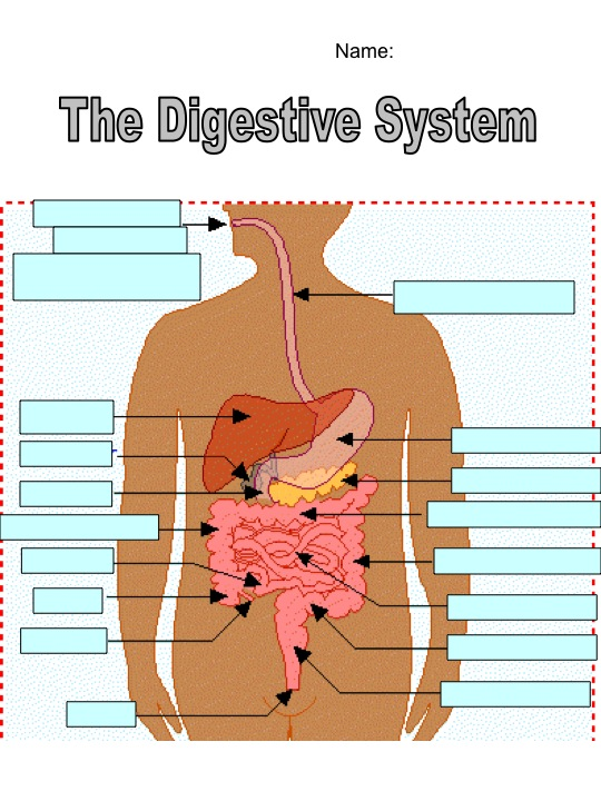 Bci Fall 11 Physed Digestive System Diagram