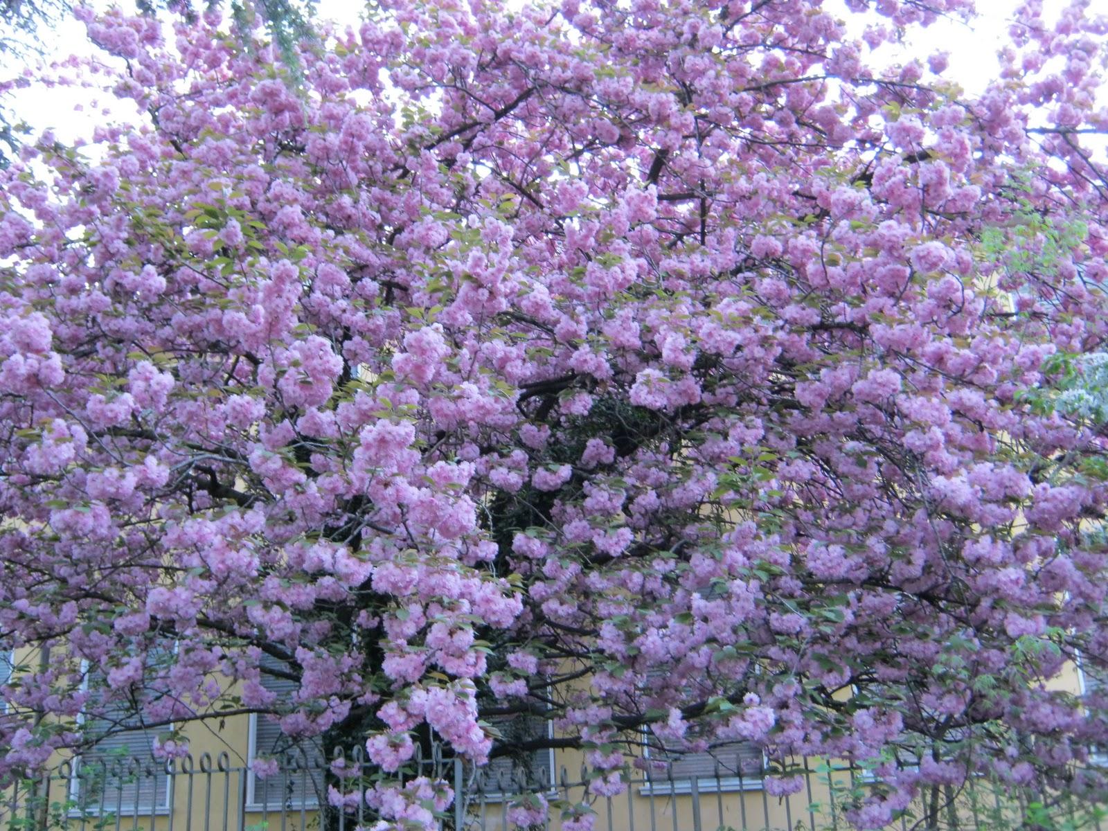 R prunus serrulata kanzan tra gli alberi da fiori rosa a for Alberi da giardino con fiori