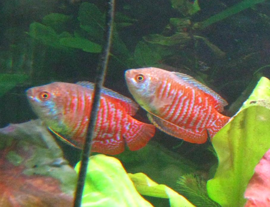 share it s my two dwarf gouramis bob on the left and joe on the right