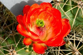 http://3.bp.blogspot.com/-QmBx76SEtIk/TxsIA87NxXI/AAAAAAAAI2w/RObMyuwTfAA/s1600/cactus+flowers+photos.+%25284%2529.jpg